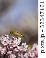 メジロ 梅 梅の花の写真 32347161