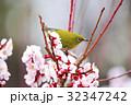 メジロ 梅の花 梅の写真 32347242