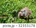 【動物】ホンドタヌキ(4) 32353178