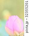 古代蓮 蕾 蓮の写真 32355201