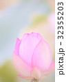 古代蓮 蕾 蓮の写真 32355203