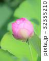 古代蓮 蓮 咲くの写真 32355210