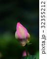 古代蓮 蕾 蓮の写真 32355212