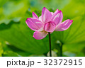 蓮 花 ハスの写真 32372915