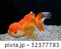 金魚 日本オランダ 32377783