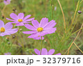 花 コスモス 桃色の写真 32379716