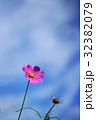コスモス 花 ピンクの写真 32382079