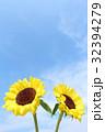 ひまわり ヒマワリ 向日葵の写真 32394279