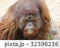 ボルネオオラウータン 32396236