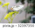 ちょうちょ 蝶 昆虫の写真 32397350