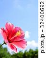 ハイビスカス ピンク 花の写真 32400692