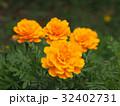マリーゴールド キク科 花の写真 32402731