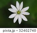 花 植物 ナデシコ科の写真 32402740