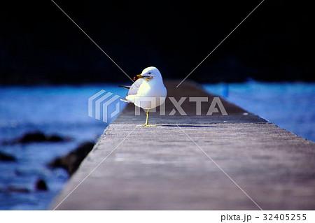 伊豆半島 海鳥 ( ウミネコ/海猫 ) 白浜・竜宮島 (静岡県 下田市) 32405255