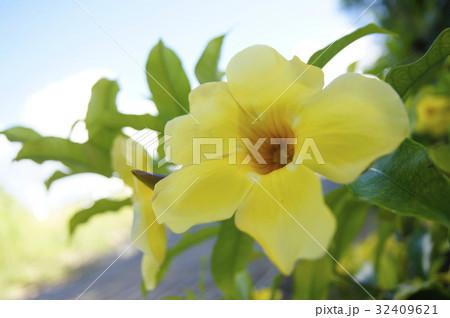 宮古島の花 32409621