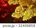 紅葉 モミジ 秋の写真 32409858