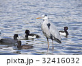 鷺 鳥 野鳥の写真 32416032