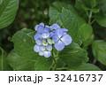 あじさい 花 植物の写真 32416737