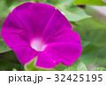 アサガオ 朝顔 花の写真 32425195
