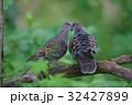 キジバト 鳥 野鳥の写真 32427899