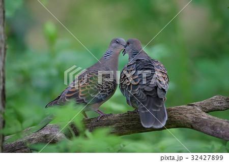 キジバト turtle dove 32427899