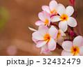プルメリア 32432479