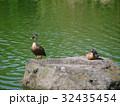 カルガモ マガモ カモの写真 32435454