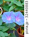 朝顔 花 植物の写真 32440883