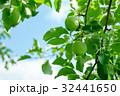 林檎 フルーツ 果物の写真 32441650