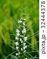 小花 小さい花 小さな花の写真 32444378