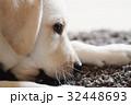 犬 子犬 小犬 仔犬 こいぬ 戌年 dog 子供 2018 年賀素材 正月素材 32448693