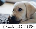 犬 子犬 小犬 仔犬 こいぬ 戌年 dog 子供 2018 年賀素材 正月素材 32448694