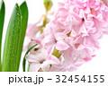 ヒヤシンス 風信子 ひやしんすの写真 32454155