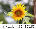 ひまわり 向日葵 花の写真 32457163