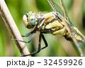 シオカラトンボ トンボ ムギワラトンボの写真 32459926