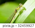アジアイトトンボ イトトンボ トンボの写真 32459927