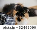 猫 動物 飼猫の写真 32462090