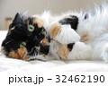 猫 動物 飼猫の写真 32462190