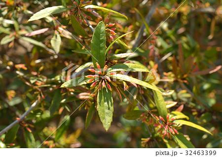 樹木:ホソバテンジクメギ メギ科 32463399