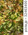 ホソバテンジクメギ メギ科 散形花序の写真 32463400