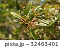 ホソバテンジクメギ メギ科 散形花序の写真 32463401