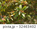 ホソバテンジクメギ メギ科 散形花序の写真 32463402
