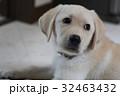犬 子犬 小犬 仔犬 こいぬ 戌年 dog 子供 2018 年賀素材 正月素材 32463432