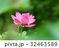 三室戸寺のハスの花 32463589