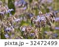ボリジ ルリジサ 花の写真 32472499