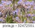 ボリジ ルリジサ 花の写真 32472501