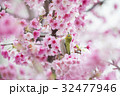 鳥 桜 さくらの写真 32477946