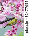 鳥 桜 さくらの写真 32477955