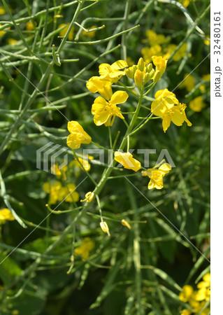 植物:セイヨウアブラナ アブラナ科 32480161