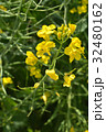 セイヨウアブラナ アブラナ科 総状花序の写真 32480162